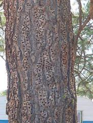 Wood pecker tre
